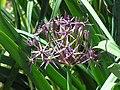 Allium christophii1.jpg