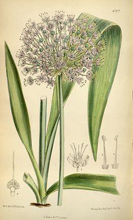 Allium macleanii Bot. Mag. 109. 6707. 1883.