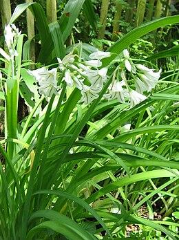 Allium triquetrum001