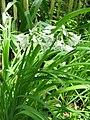 Allium triquetrum001.jpg