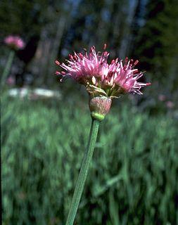 <i>Allium validum</i> species of plant