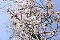Almond Blossom, Meymand, Iran.jpg