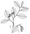 Alnus serrulata drawing.png