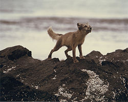 Alopex lagopus standing on Nizke Island.jpg