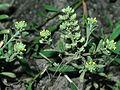 Alyssum allyssoides eF 4x3.jpg