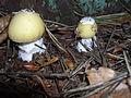 Amanita-phalloides-2105.jpg