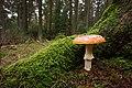 Amanita muscaria (30142728226).jpg