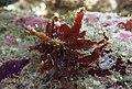 Amansia dietrichiana.jpg
