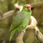 Amazona autumnalis -side -Belize Zoo-8-3c.jpg