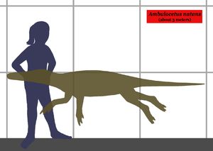 Ambulocetus - Size comparison between Ambulocetus and a human.