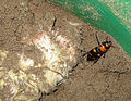 American Burying Beetle in Bait Bucket (7489198442).jpg