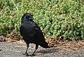 American Crow (30681106607).jpg