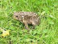American Toad (Bufo americanus) - Flickr - Jay Sturner.jpg