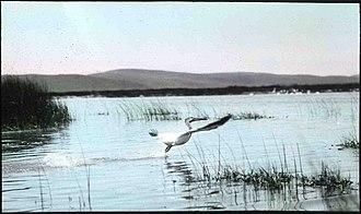 Malheur National Wildlife Refuge - Hand-painted slide of an American white pelican taken at Malheur Lake in 1908.