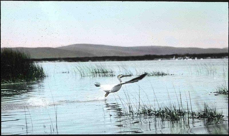 File:American White Pelican Malheur 1908.jpg