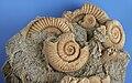 Ammonites Dactylio Ceras Commune Schleifhausen Germany Jura 02.jpg