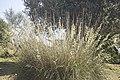 Ampelodesmos mauritanicus-3094.jpg