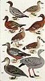 An Australian bird book - a pocket book for field use (1911) (20323517916).jpg