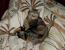 An European Shorthair.JPG