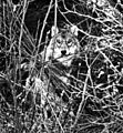 An Experimental Translocation of the Eastern Timber Wolf (1975) Fig04.jpg
