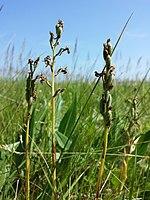 Anacamptis palustris (subsp. palustris) sl4.jpg