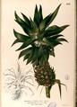 Ananas comosus Blanco2.458-original.png
