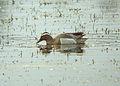 Anas querquedula, Gosforth Park 1.jpg