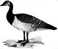 Andfåglar, fig e, Nordisk familjebok.png