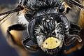 Andrena aliciae, female, face 2012-08-07-16.27.57 ZS PMax (7823876872).jpg