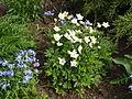 Anemone (Poltava Botanical garden).jpg