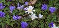 Anemone blanda au Parc Floral.jpg