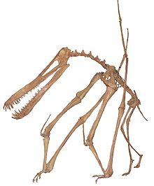 Anhanguera skeleton white background.JPG