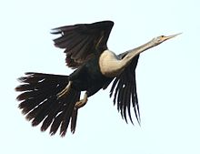 Anhinga-in-flight.jpg