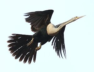 Darter - Female American darter (A. anhinga) taking off
