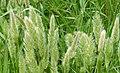 Annual Beard-grass - Polypogon monspeliensis (31788147634).jpg