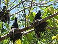 Anous minutus -nesting -Heron Island-8.jpg