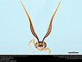 Antennae of Ichneumon wasp (Ichneumonidae, Euceros sp.) (35927944354).jpg