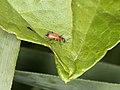 Anthocomus rufus (36013515564).jpg