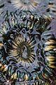 Anthopleura elegantissima1 (23838312445).jpg
