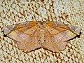 Apeira syringaria - Lilac beauty - Пяденица сиреневая (40921027541).jpg