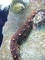 Apostichopus californicus.001 - Aquarium Finisterrae.jpg