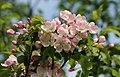 Apple-tree blossoms 2017 G2.jpg
