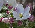 Apple Blossoms (4532239974).jpg