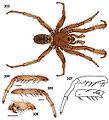 Aptostichus cajalco 01.jpg