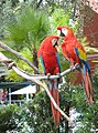 Ara macao -Busch Gardens, Tampa, Florida, USA -two-8a.jpg