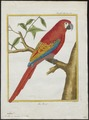 Ara macao - 1700-1880 - Print - Iconographia Zoologica - Special Collections University of Amsterdam - UBA01 IZ18500079.tif