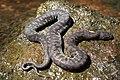 Arafura File Snake (Acrochordus arafurae) (8691264281).jpg