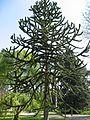 Araucaria araucana01 by Line1.jpg