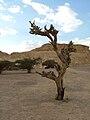 Arava-tree-01.JPG
