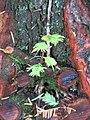 Arboretum de Bagnoles - Metasequoia glyptostroboides (feuillage 3).jpg